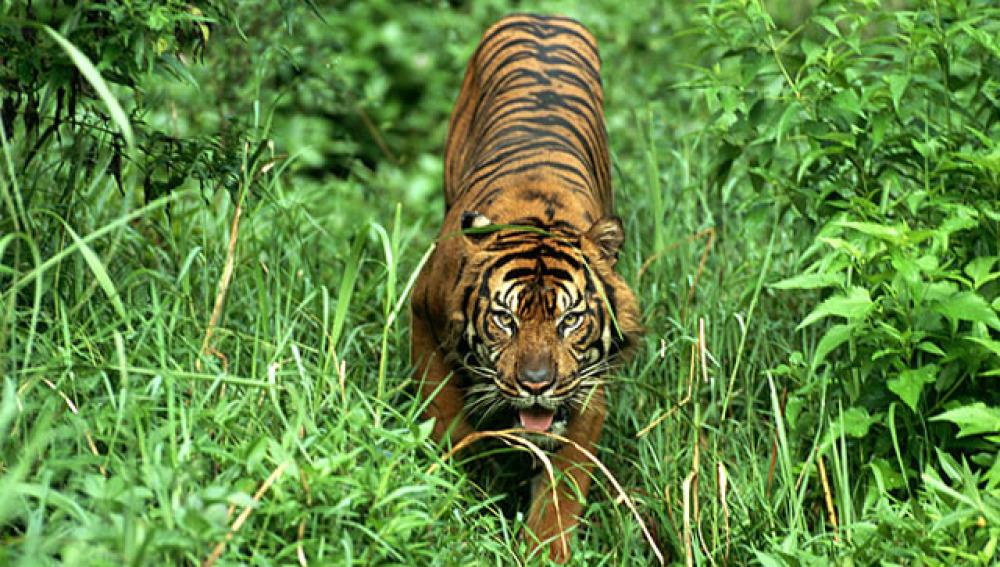 Un tigre de Sumatra
