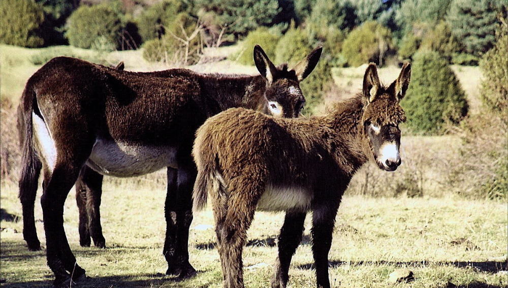 Dos burros pastando en un prado.