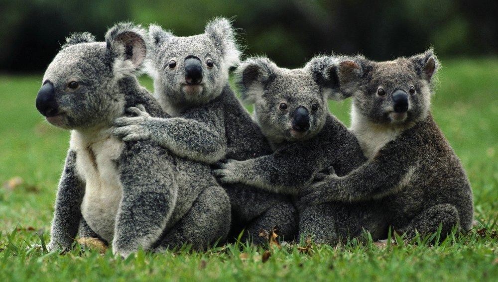 """Sacrifican en Australia a 700 koalas por """"problemas de superpoblación"""""""