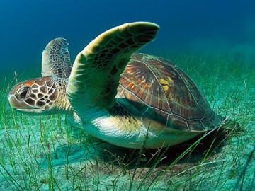 Tortuga verde marina