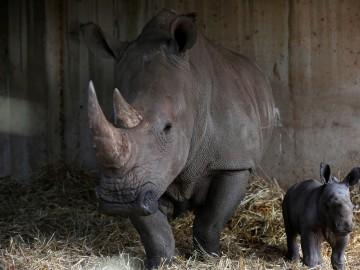 Los cuernos de rinoceronte, un valioso tesoro