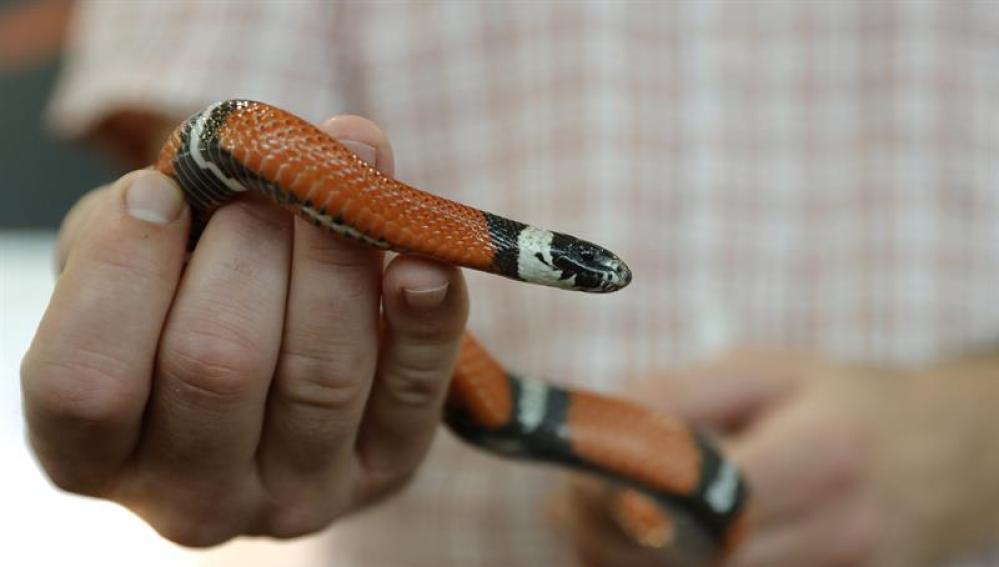 Neven Vrbanic, un croata que vive con 120 serpientes para demostrar que son animales tranquilos