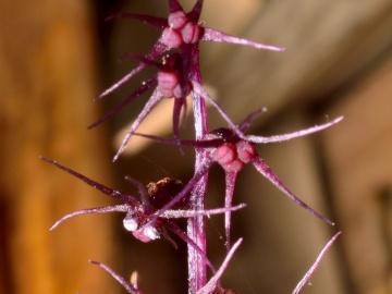 'Sciaphila Sugimotoi', la planta que no hace la fotosíntesis