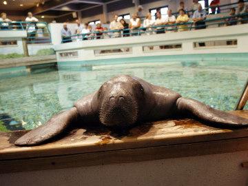 Muere Snooty, el manatí en cautividad más longevo del mundo, a causa de un accidente