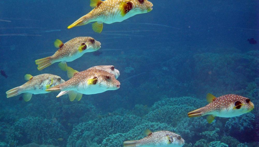 Imagen de archivo de peces globo