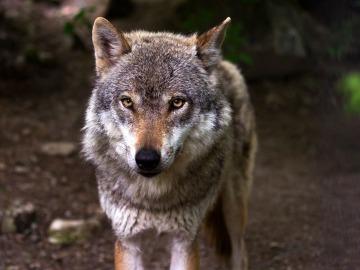 Imagen de un lobo