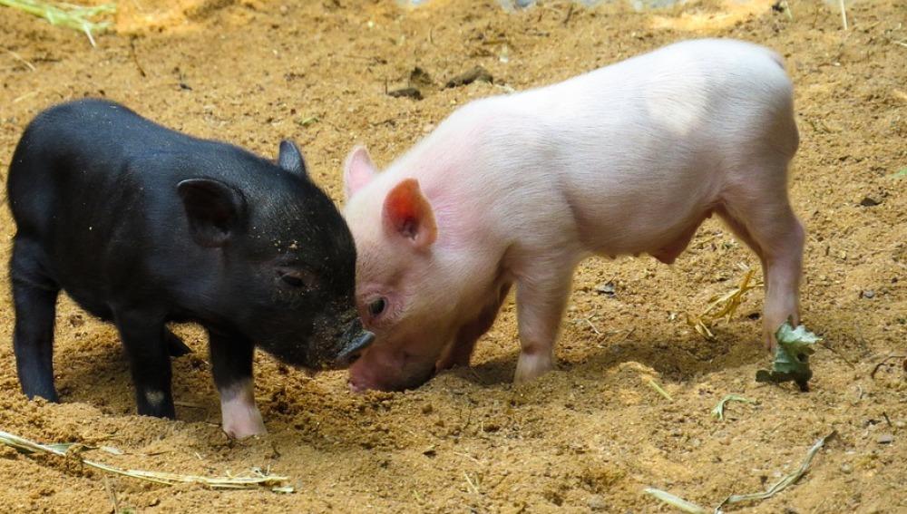 La técnica CRISPR elimina retrovirus en cerdos vivos para trasplantar órganos en humanos