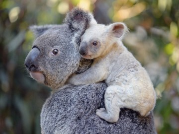 Nace una koala blanca, una especie extremadamente rara en un zoo