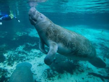 Panamá recupera la población de manatí antillano