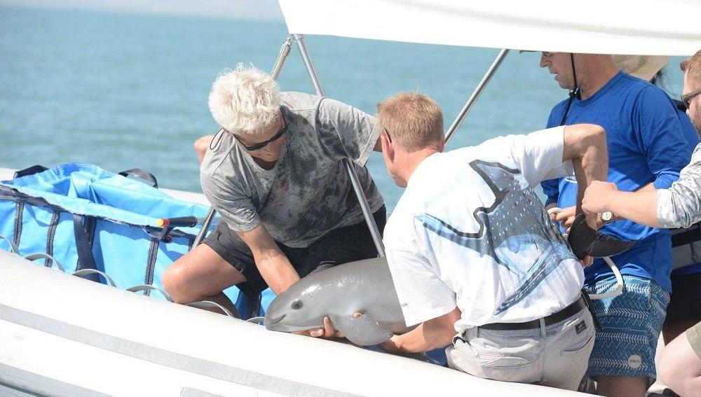 Una vaquita marina muere tras ser rescatada en México