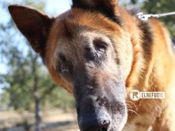Alan, un pastor alemán ciego rescatado por El Refugio