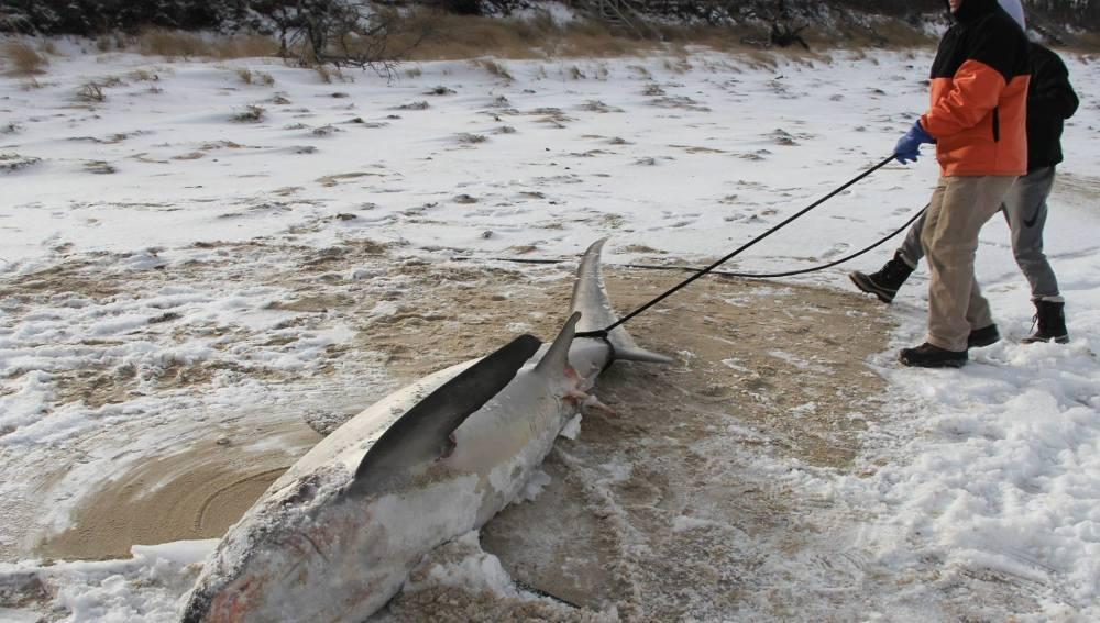 Unos operarios sacan a un tiburón blanco congelado