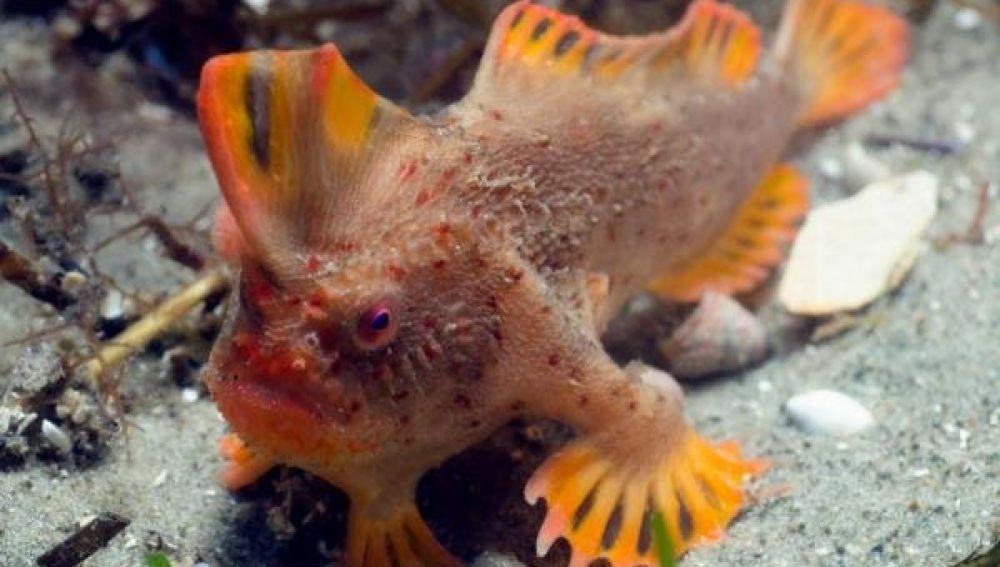 Científicos descubren peces que caminan en Australia