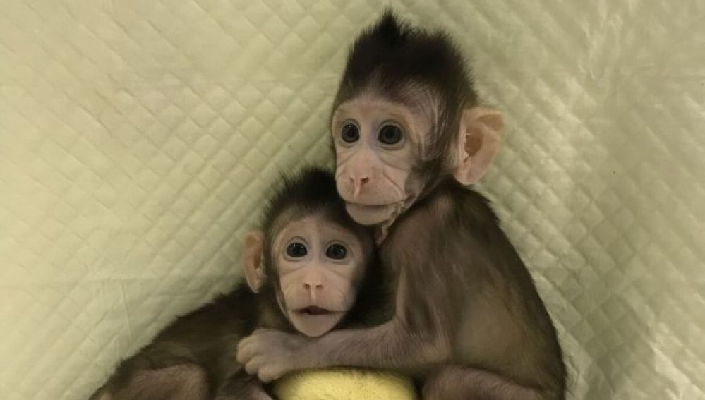 Científicos chinos crean los primeros monos clonados con la misma técnica que la oveja 'Dolly'