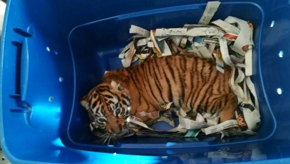 Encuentran un tigre listo para ser enviado por correo