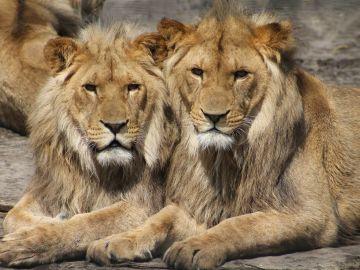 Imagen de archivo de dos leones