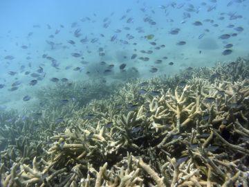 Australia pierde casi todos sus arrecifes de crustáceos