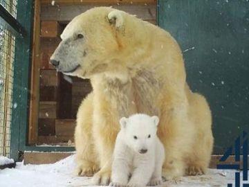 Nace el primer oso polar en cautividad en Reino Unido tras 25 años