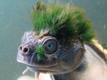 La peculiar tortuga de pelo verde entra en la lista de animales en peligro de extinción