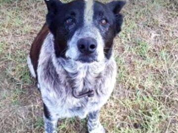 Un perro sordo y medio ciego protege a una niña perdida en un bosque australiano durante toda la noche