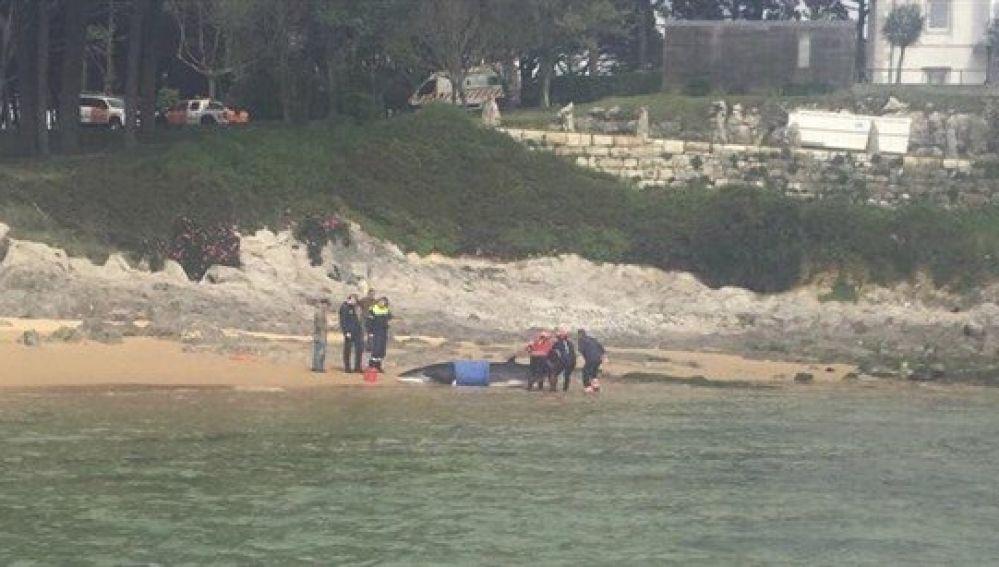 Liberada al mar una ballena en Santander