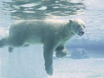 Muere Inuka, el único oso polar nacido en el trópico