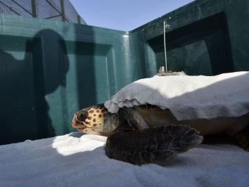 Benjamín, la tortuga boba, vuelve sin una aleta al Mediterráneo después de dos años