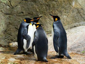La mayor colonia del pingüino rey presenta un declive muy drástico
