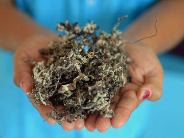 Un grupo de jóvenes mexicanos aprovechan una plaga de algas para elaborar productos ecofriendly