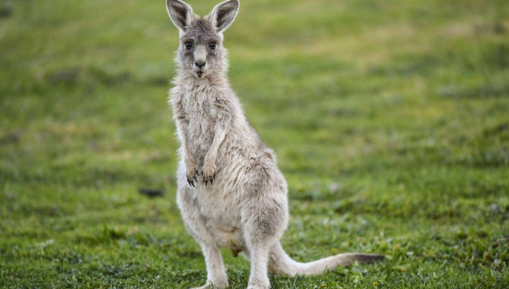 Australia autoriza disparar a los canguros debido a la extrema sequía