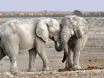 Utilizan la Inteligencia Artificial para la prevención de caza de elefantes en África