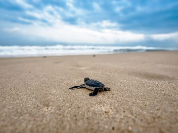 Mueren 300 tortugas atrapadas en redes de pesca en México