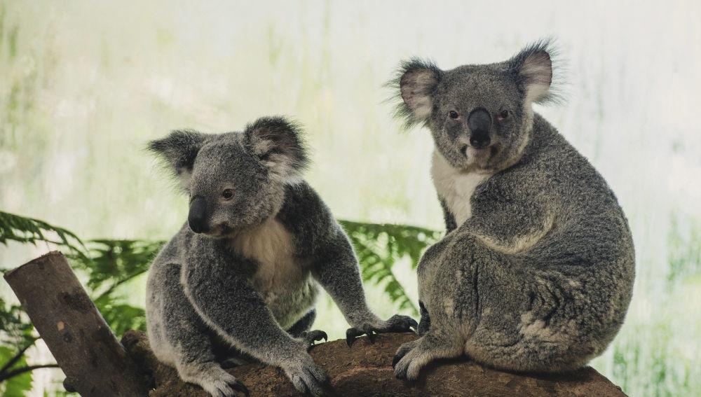 Descubren la diversidad genética que podría salvar a los koalas de su extinción