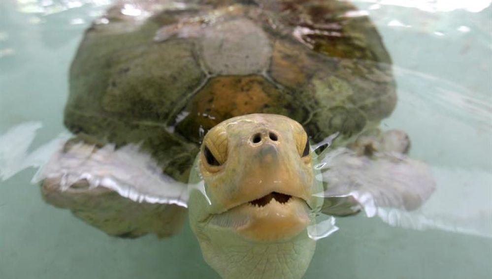 Esperanza, la tortuga mutilada embajadora de un programa de conservación de estos animales en peligro de extinción