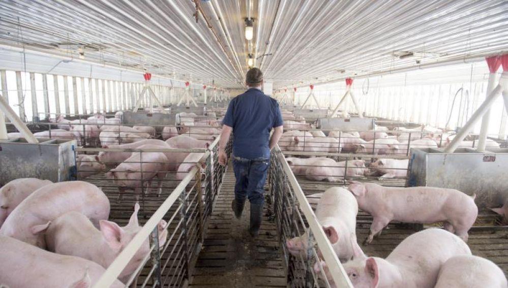 En la imagen, una granja de cerdos