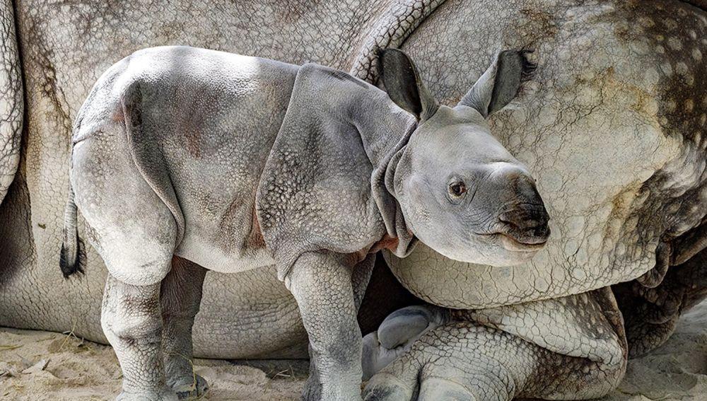 Foto del primer rinoceronte indio de un solo cuerno en cautividad