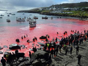 Una sanguinaria fiesta popular acaba con la vida de 250 cetáceos y tiñe de rojo la costa de las Islas Feroe