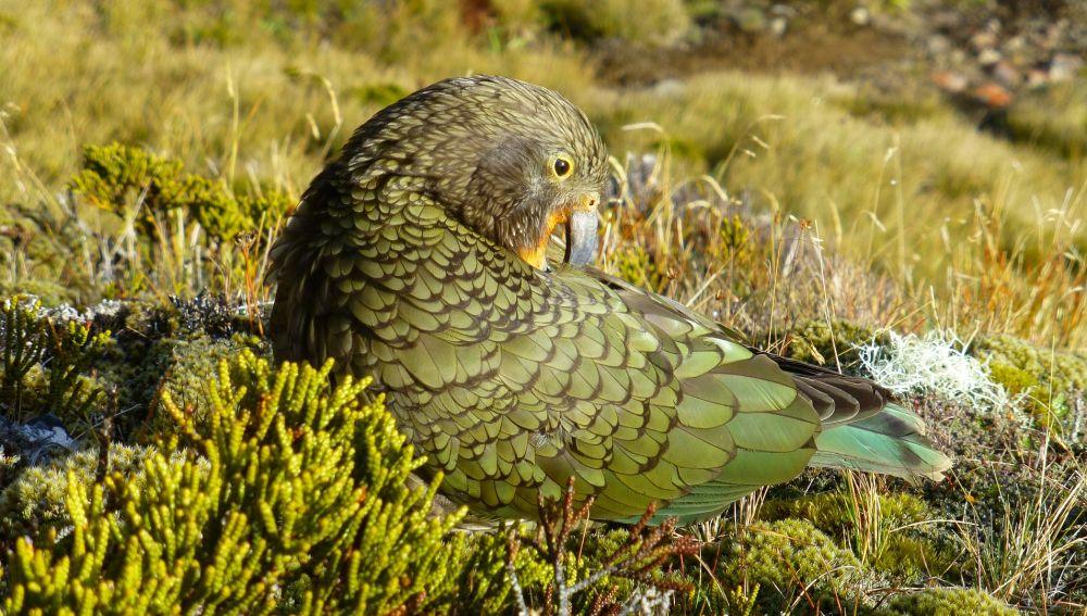 Un ejemplar de kea, especie oriunda de Nueva Zelanda