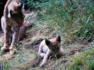 Cria de lince boreal y su madre