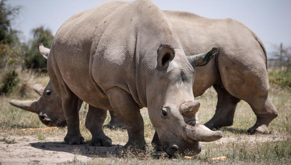 Únicos ejemplares vivos de rinoceronte blanco del norte