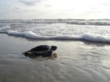 Liberación tortuga
