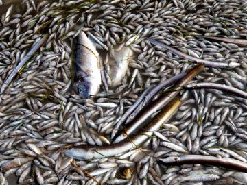 Aparecen peces muertos en playas del Mar Menor