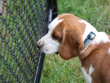 Perro Beagle en una perrera
