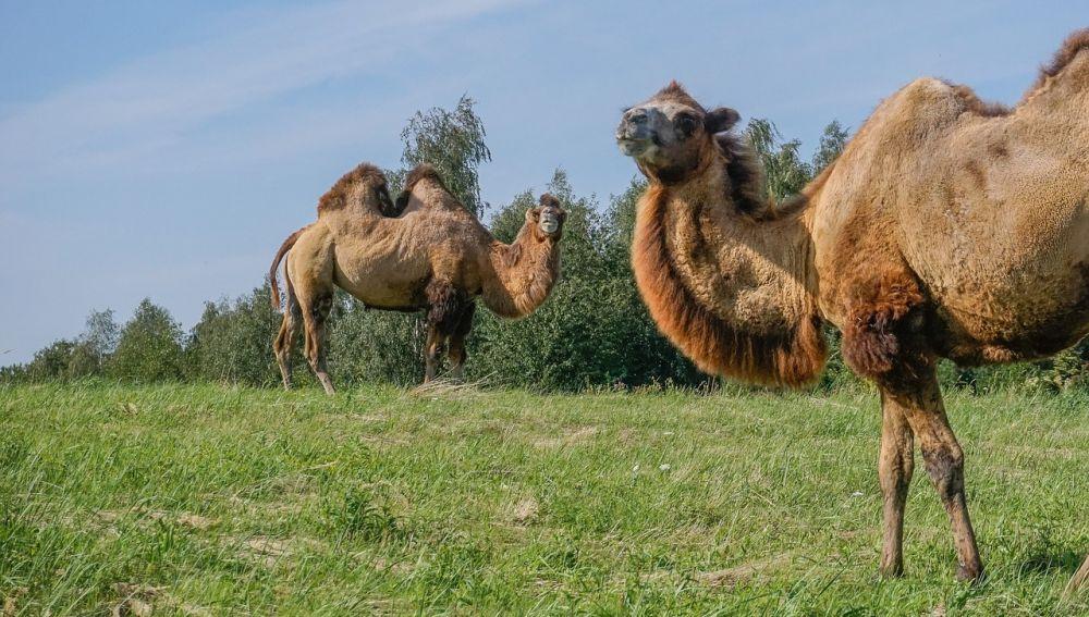 Dos camellos