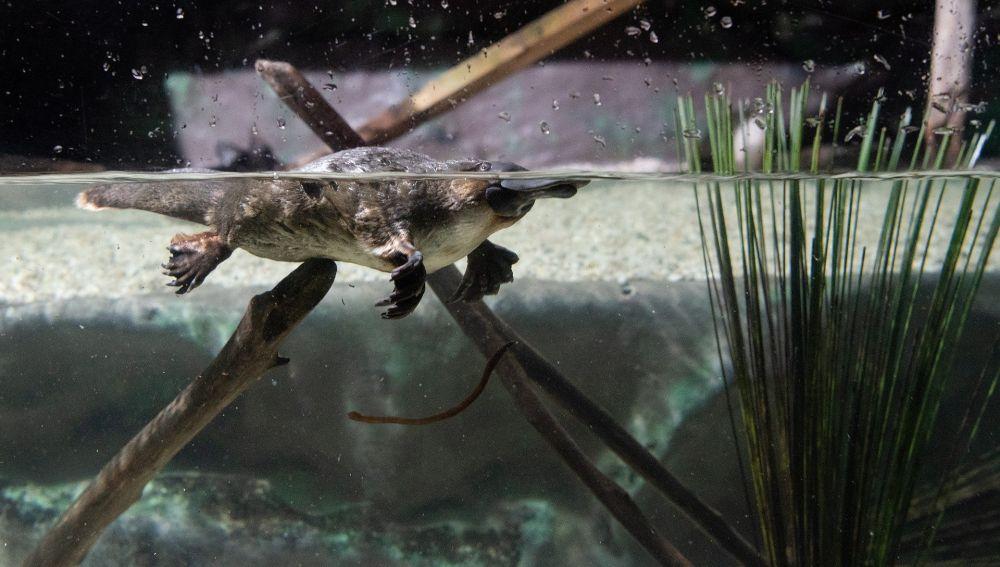 Un ornitorrinco en el agua