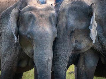 Dos elefantes asiáticos