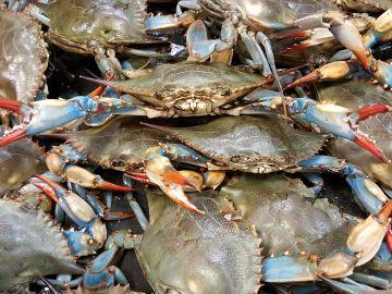 Cangrejo azul, una de las especies invasoras que amenaza el Mediterráneo