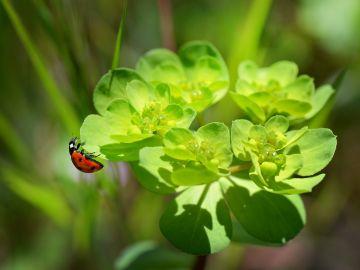 Mariquita sobre una planta