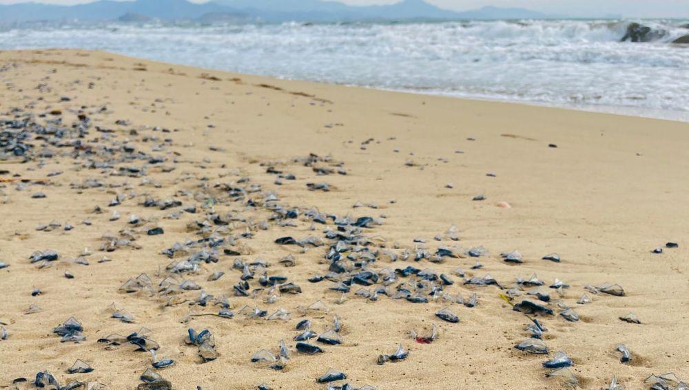 Medusas en las playas de Elche