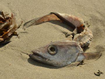 Aparición de peces muertos en el Mar Menor